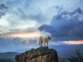 Le Tigre Blanc, le récit de la Colère moteur de l'action