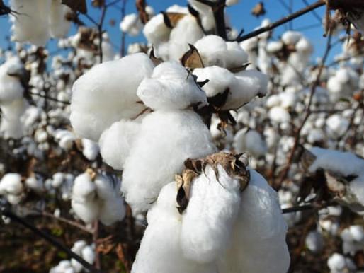Pourquoi la culture du coton est un fléau pour l'environnement ?