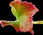 Grape Leaf 04.png
