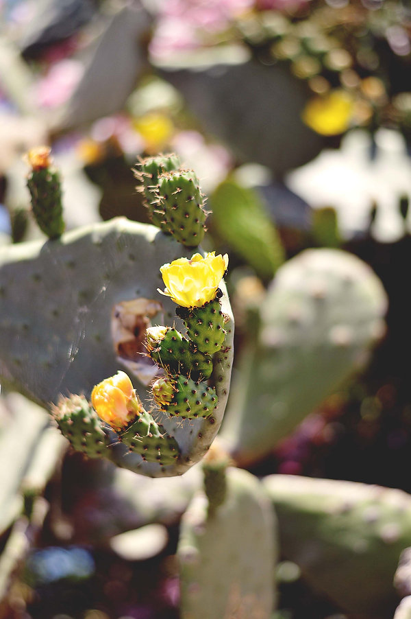 kaktuselba 2.jpg