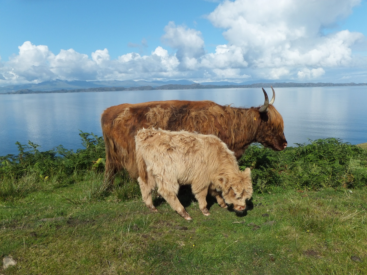 Cow and Calf1