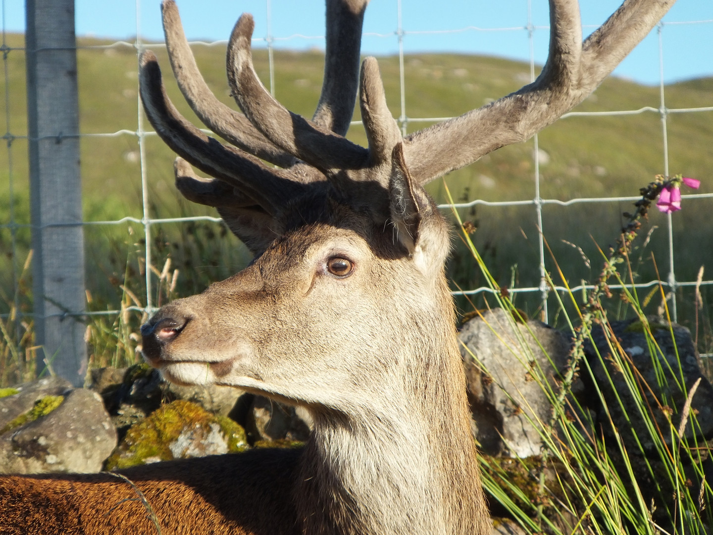 Stag at Applecross