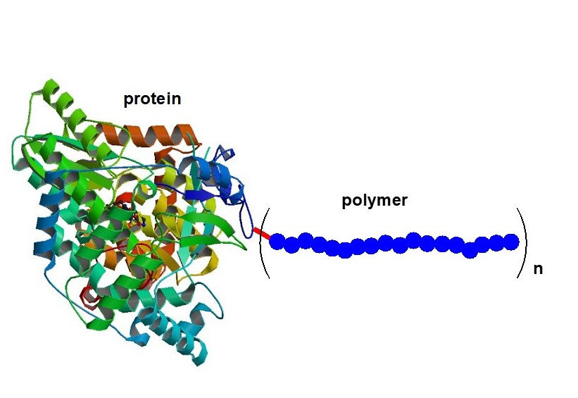 protein polymer conjugates.jpg