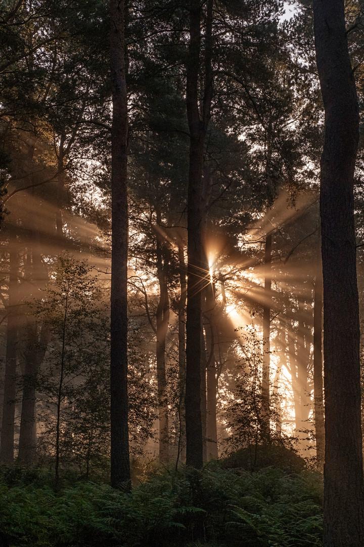 Twin Sunbursts, South Annsmuir Woods