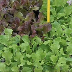 Plant de salade