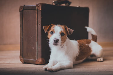 Jack Russell dog on a suitcase.jpg