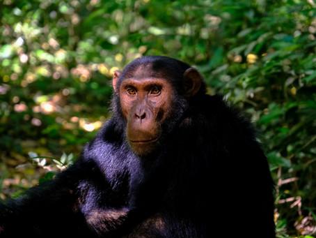 Jeśli praprzodkiem człowieka jest szympans…
