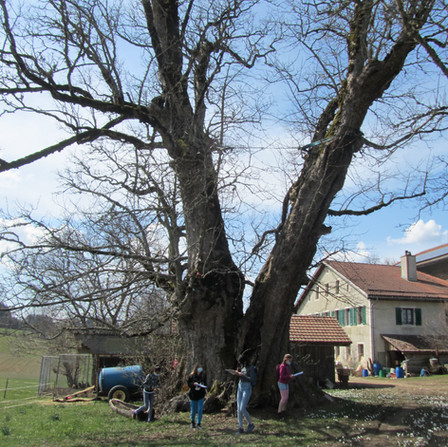 visite d'un arbre remarquable