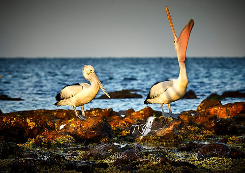 Pelicans in Bellarine