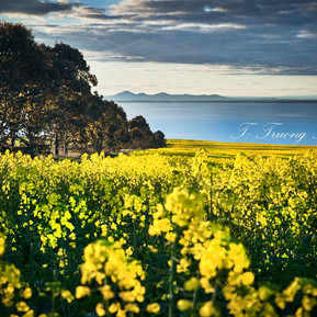 Bellarine Canola with You Yang Sep 10 20