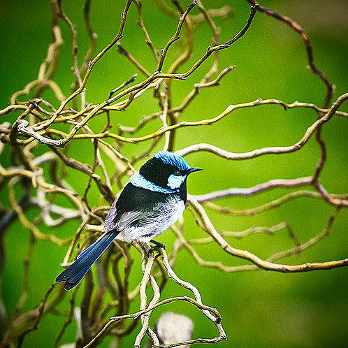 Blue Wren with Willows