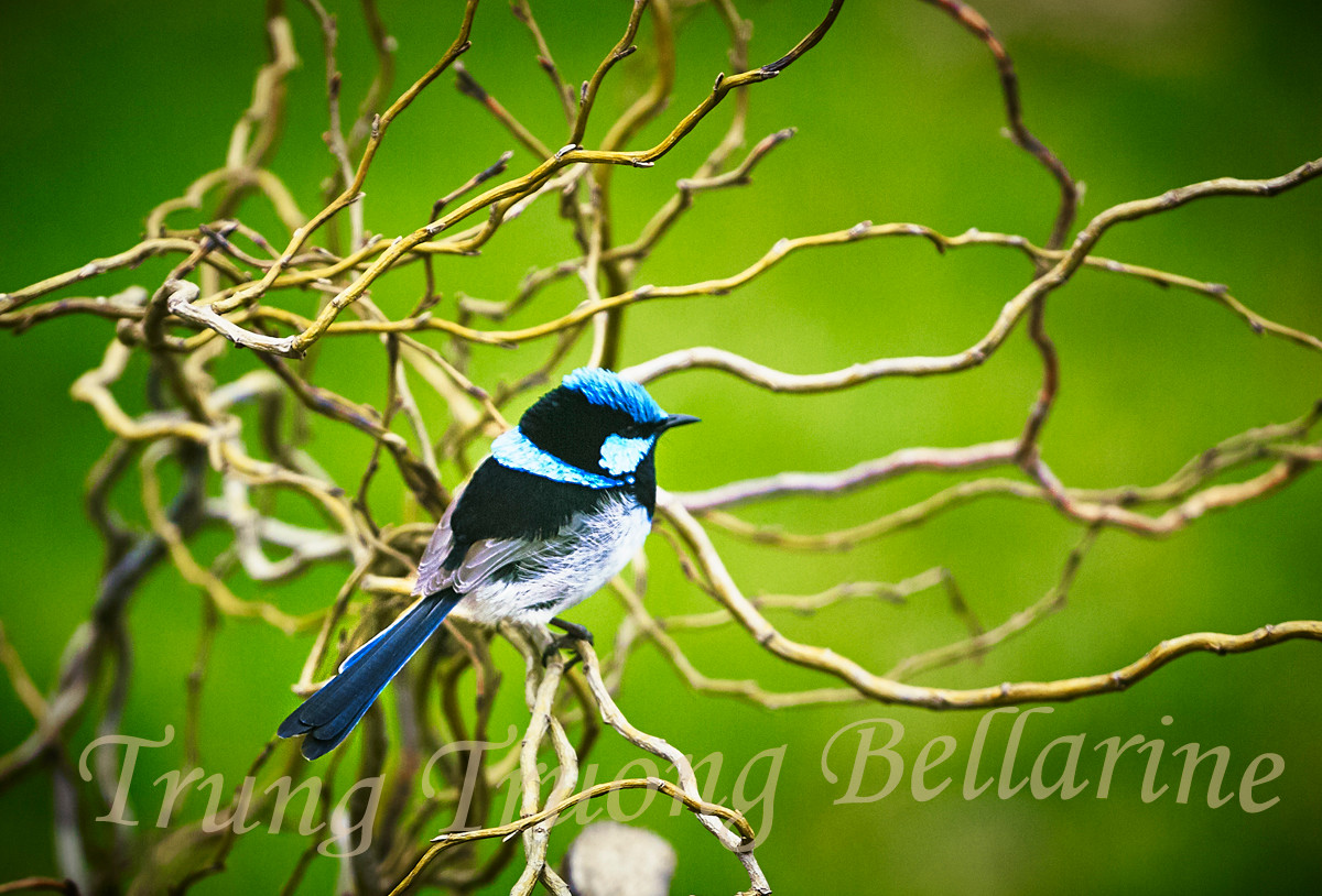 Blue wren and Willow