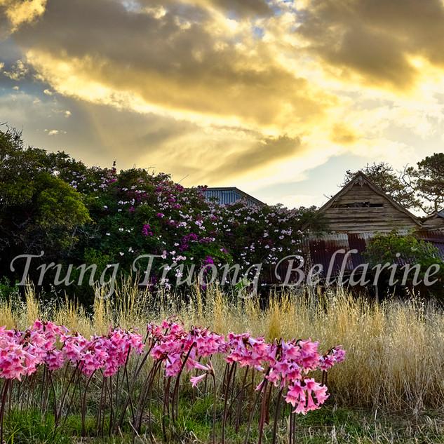 Lilies Bella Donna in Bellarine.jpg