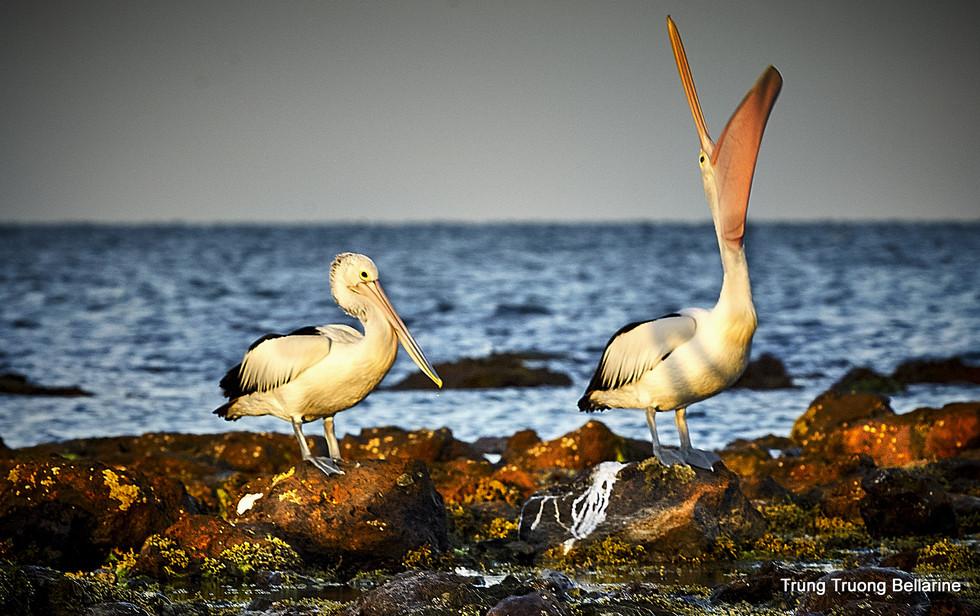 Pelican  in Bellarine