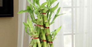 Three-Layered Pyramid Bamboo Plant