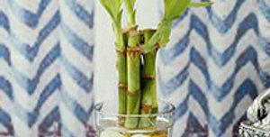 Three Stemmed Bamboo Plant