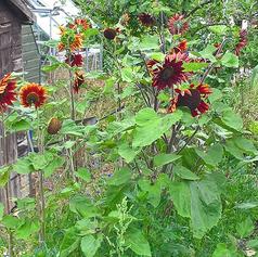 sunflowers-2018 (17)-crop-u204054.png