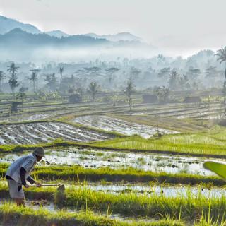 Ricefields.jpeg