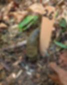 IMG_8377 banana slug adj.jpg