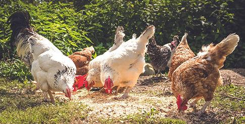 chickens-4041955_1920.jpg