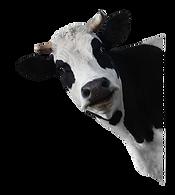 cow%20peaking_edited.png