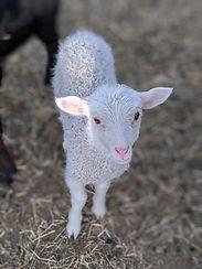 lamb 2020.jpg