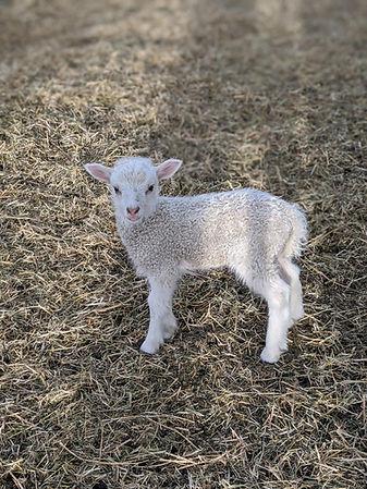 other lamb 2020.jpg