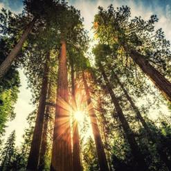 Tall Trees.jpg