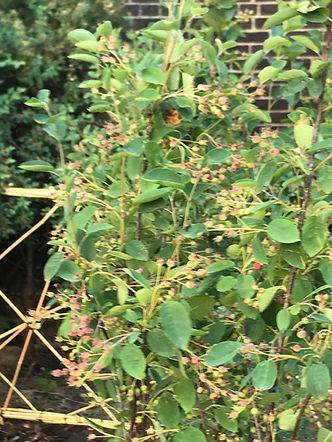 Service Berries 210620.jpg
