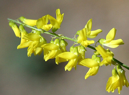 Melilotus (Sweet Clover) - Medicinal Effects and Side Effects