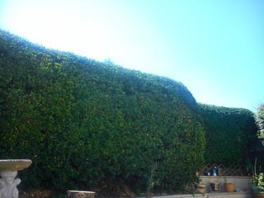 Hedge trimming St Julian's Newport
