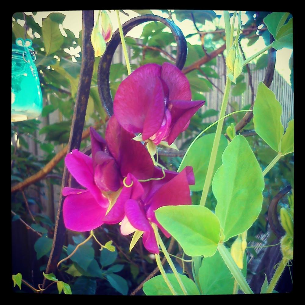 Beautiful sweet peas in the garden - Ark Fencing & Garden Services