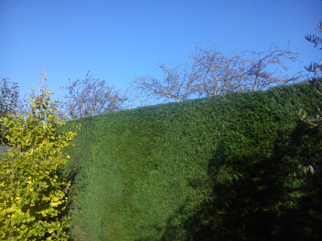 Conifer Trimming Rogerstone Newport