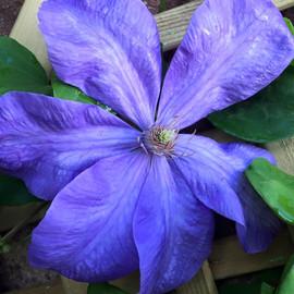 Blue Clematis flowering
