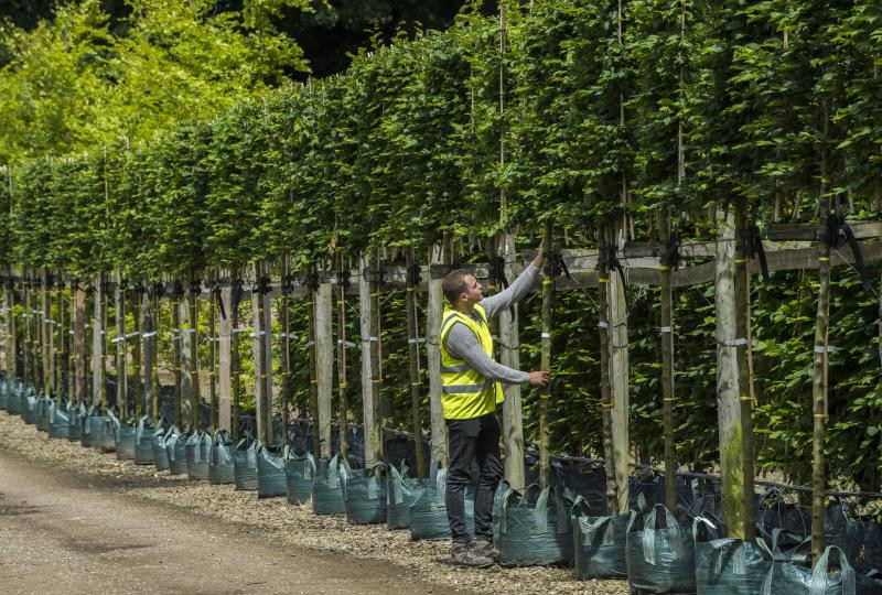 Pleached hornbeam, plans for privacy with Ark Fencing and Garden Services