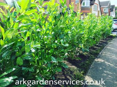 Laurel Planting