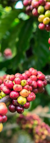beans on bush_cropped.jpg