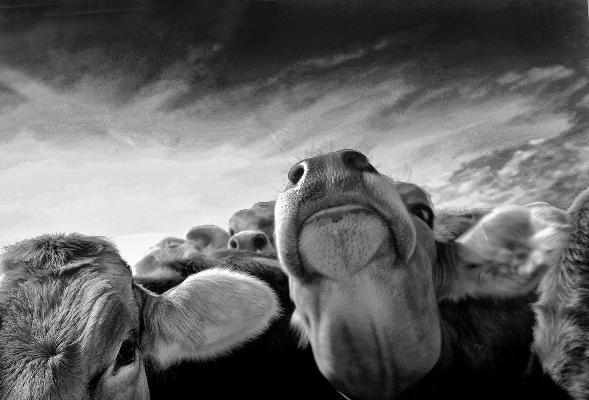Cows,+Switzerland.jpg