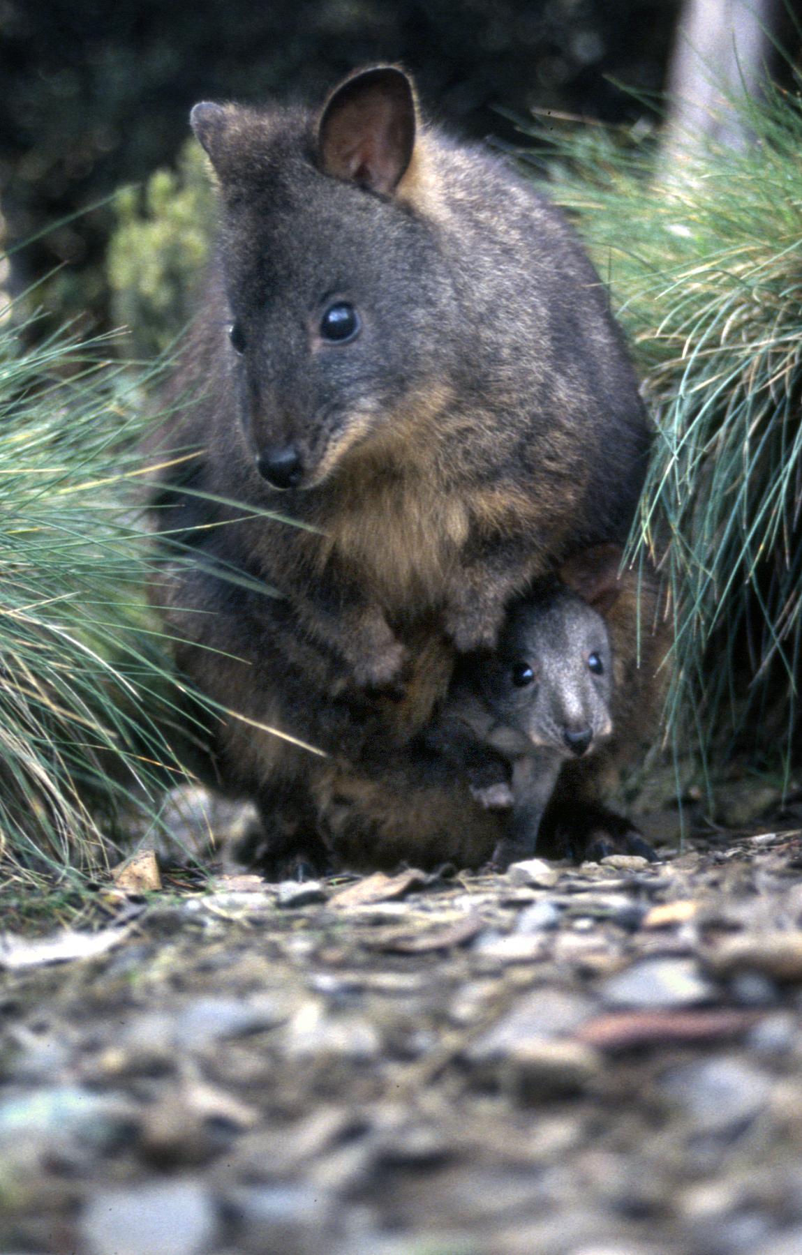 Wallabies, Tasmania, Australia.jpg