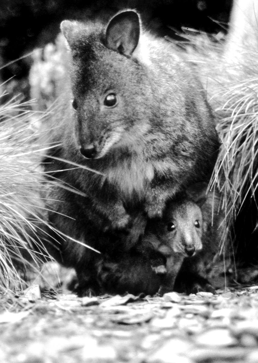 Wallabies,+Australia.jpg