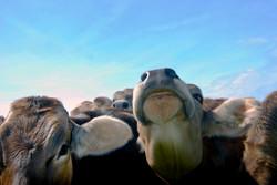 Cows, Switzerland.jpg
