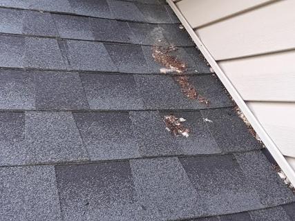 Bat Guano at Soffit to Roof Bat Entry