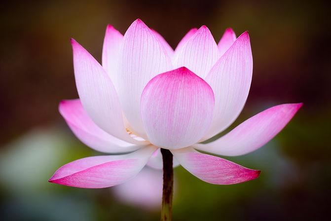 lotus-4266522_1920.jpg