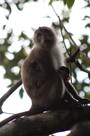Long tailed macaque indo Victoria Gehrke