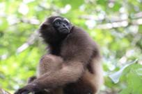 Gibbon Indo Victoria Gehrke.jpg