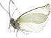 cw-butterfly1.png