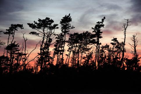 スカスカの松林