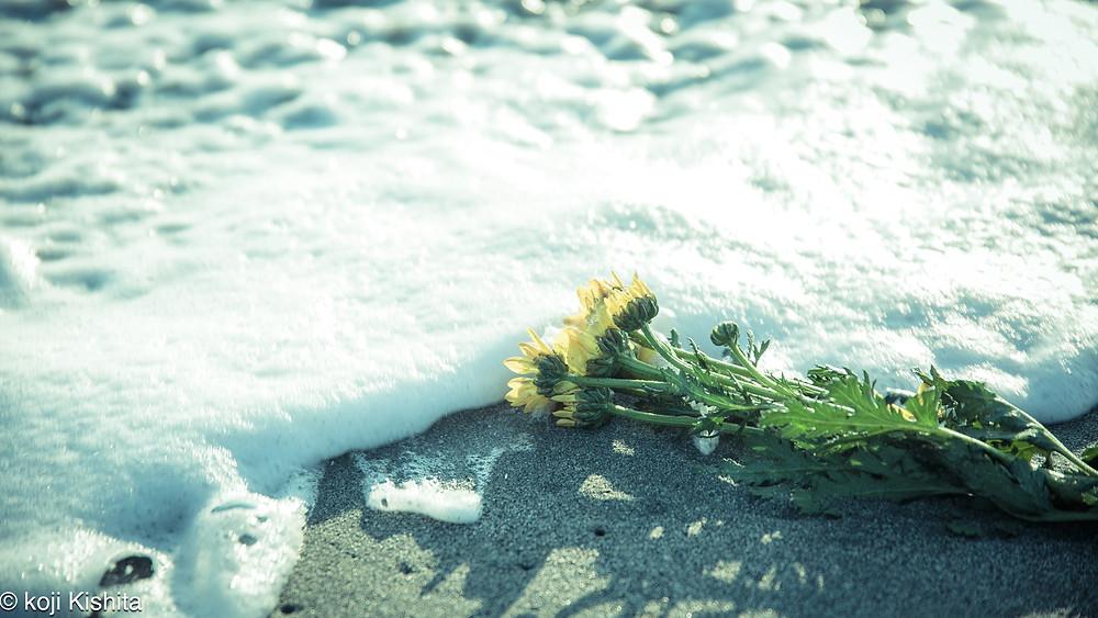 中田島砂丘の波打ち際に菊の花