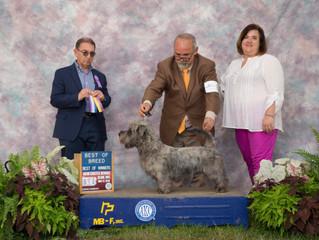 Stiubhard BB King wins Best of Breed in USA :)