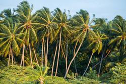 мальдивские пальмы